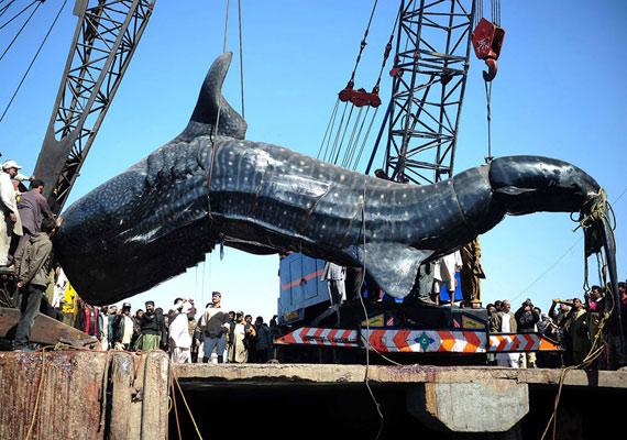 A cetcápát a halászok állítólag 200 ezer rúpiáért értékesítették, vásárlója három napig kiállította, majd továbbadta a tetem húsát.