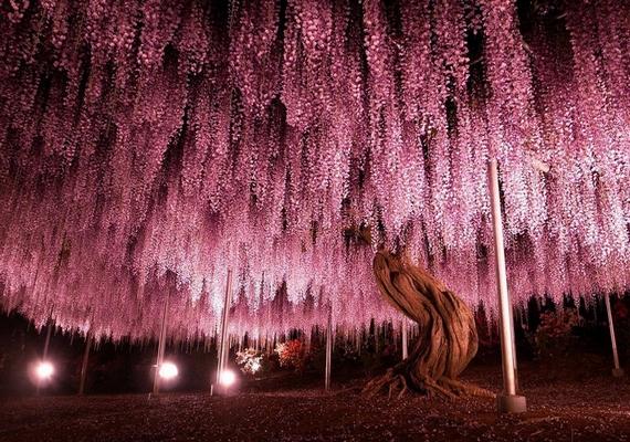 Így néz ki éjszakai fényben a hatalmas, lila virágú növény.