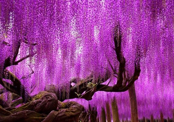 A fa káprázatos látványt nyújt.