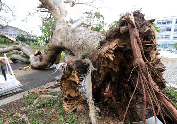 Ezt a hatalmas törzsű fát is kicsavarta a szél.