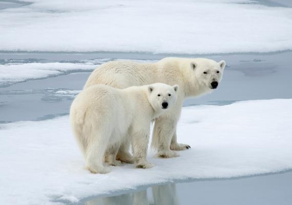 Nagy valószínűséggel nem fognak kipusztulni a jegesmedvék, és a 2068-ra jelzett tömeges éhezés sem következik majd be, vagy legalábbis nem olyan mértékben, ahogyan azt jósolták. A PLoS One tudományos lapban megjelent friss tanulmány szerint ugyanis ahogy a klímaváltozással egyre gyorsabban olvad az sarki jég, a jegesmedve alkalmazkodik, és rénszarvassal, valamint sarki lúddal helyettesítheti a fókát.