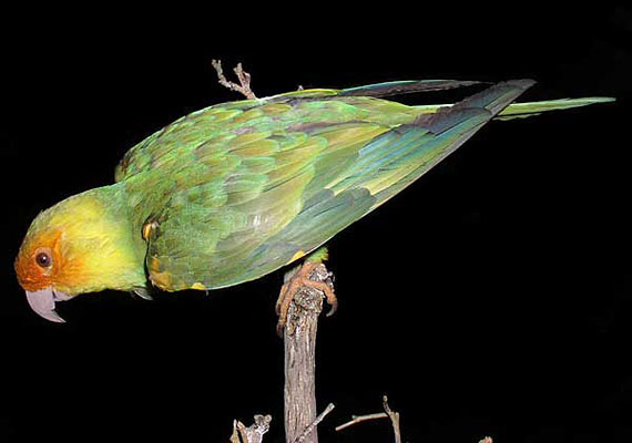 A Karolina-papagáj vesztét az okozta, hogy az élőhelyéül szolgáló erdők rohamosan csökkentek, ráadásul színes tolla miatt is vadászták. Az utolsó ismert példány 1918-ban pusztult el Cincinnati állatkertjében.