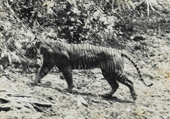 A kaszpi tigris Jávában volt őshonos, ám olyan mértékben vadászták, hogy 1972-ben teljesen eltűnt. Ez az egyetlen fotó, ami a fenséges állatot megörökítette.