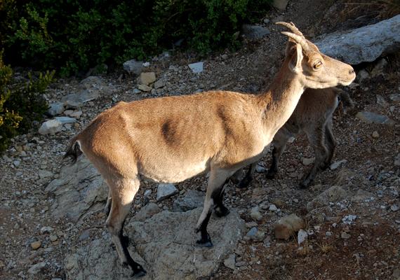 A Beceite kőszáli kecske a spanyol kőszáli kecske egyik alfaja. Az utolsó példányt 2000-ben agyonütötte egy kidőlt fa. 2009-ben megpróbálkoztak a faj klónozásával, de a kecskebébi néhány órával születése után meghalt.