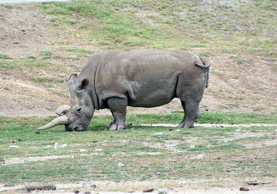 A keskenyszájú orrszarvú évekig veszélyeztetett fajnak számított, és bár sokan próbálták megmenteni a kihalástól, 2006 óta egyetlen példányt sem láttak.