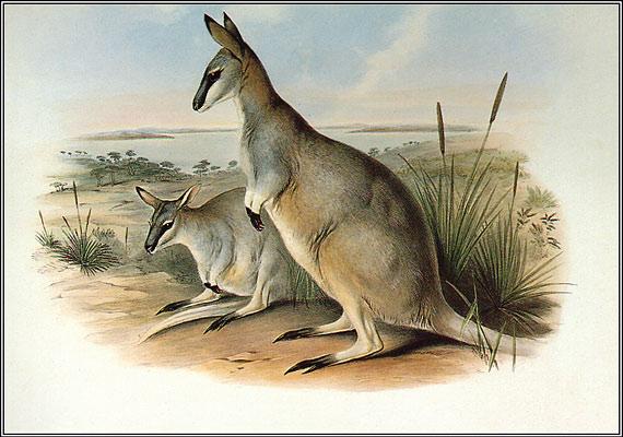 A macropus egy kisméretű kengurufaj volt, amely Ausztráliában volt őshonos. A bundája miatt vadászott kis állatot 1943-ban látták utoljára.