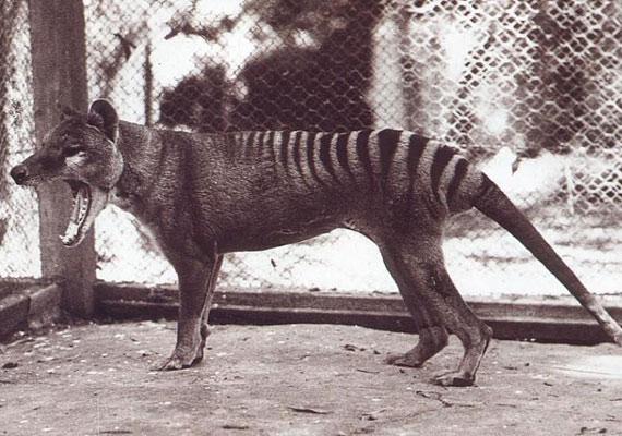 Az utolsó szabadon élő tasmán tigrist 1930-ban látta egy farmer, és rögtön le is lőtte. Az utolsó fogságban tartott példány 1936-ban múlt ki.