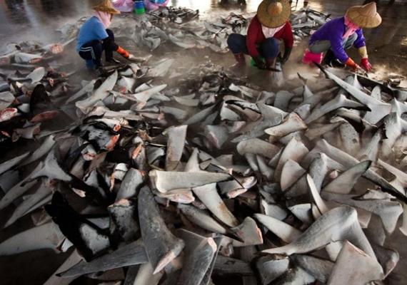 Szintén a cápás fotósorozat része, ahogyan a tajvani Dong Gang halpiacon a fagyasztott cápauszony feldolgozásra kerül. 2012-ben ezt a képet is harmadik hellyel díjazták.