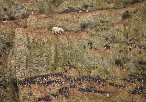 Ez a jegesmedve az éghajlatváltozásnak köszönhetően sirálytojásokra vadászik, messze az élőhelyétől. Szintén első helyezést ért el Jenny E. Ross képe 2012-ben.