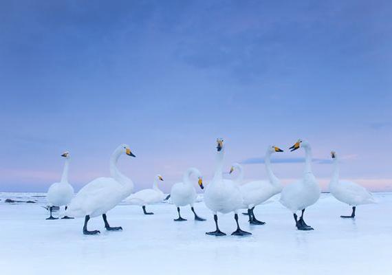 Stefano Unterthiner a japán Notsuke-öböl befagyott vizén örökítette meg az énekes hattyúkat. A kép szintén a National Geographic magazinnak készült. 2011-ben második helyezést ért el Stefano Unterthiner a fotóval.