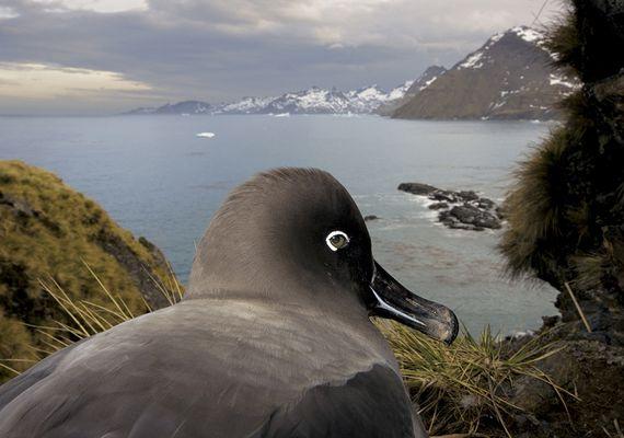 Az albatroszról készült fotó, ami féltve őrzi a fészkét a National Geographicnak készült. Ez lett 2009 legjobb természetfotója.