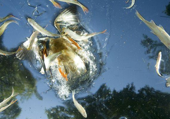A jégmadarak azért nyitják ekkorára a szemüket a víz alatt, hogy jobban lássák a halakat. A magyar származású Joe Petersburgert első hellyel jutalmazták 2009-ben a különleges pillanatképért.