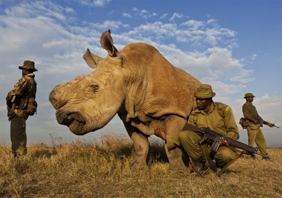 Dél-Afrikában a rinocéroszszarv-vadászat egyre elterjedtebb, ezért csapatok vigyázzák a négylábúak biztonságát, míg szarvukat el nem távolítják műtéti úton. Brent Stirton képe a dobogó első fokáig jutott 2012-ben.
