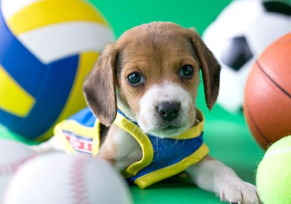 A beagle-t is tarthatod lakásban, azonban ennek a fajtának sok mozgásra van szüksége, ez napi néhány óra sétát jelent. Természetét tekintve nagyon játékos és barátságos, idomítása már kicsit nehezebb.