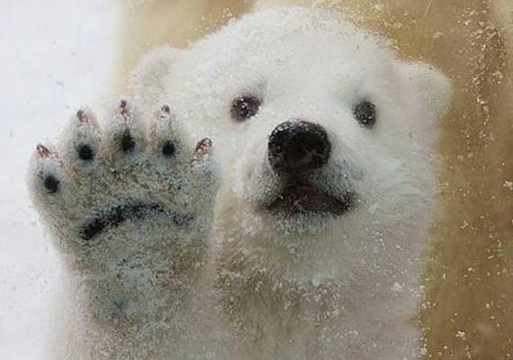 A bájos jegesmedvebocsnak 2011 tavaszán adott élete mamája, Malik. Mindketten a dániai Aalborg Állatkert lakói.