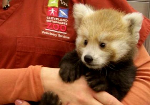 Az ennivaló vörös panda, Mei Mei a képek kilenchetesen látható. A clevelandi Metroparks Állatkertben született.