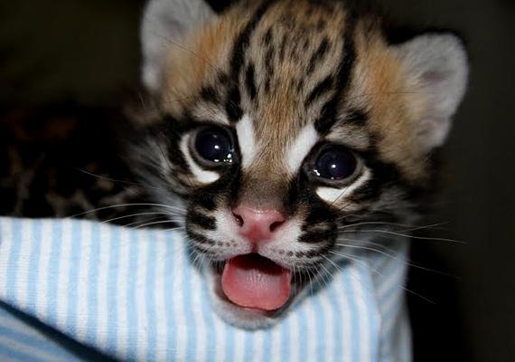 Az elégedett kis ocelot a seattle-i Woodland Állatkert újszülöttje volt 2011 februárjában. Szülei Bella és Brazil.