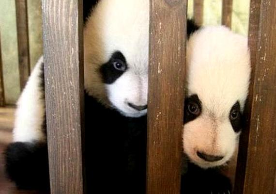 A félénknek tűnő Dee Dee és Po pandaikrek, akik 2011 elején születtek a spanyolországi Madridi Állatkertben.