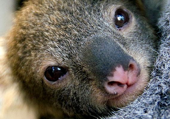Eliza, a kis koala 2009-ben született meg az ausztráliai Taronga Állatkertben. A koalák az országban különösen védettnek számítanak.