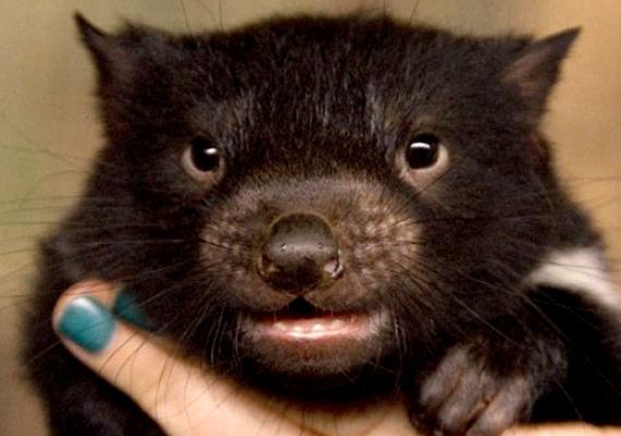 2009-ben született meg a világ egyik legédesebb tazmán ördöge az ausztráliai Taronga Állatkertben. A megkapó küllem még elfedi vadorzó mivoltát.