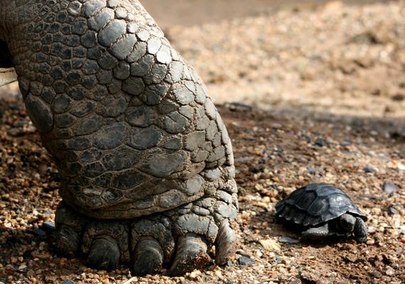 A kicsiny galapagosi teknős az ausztráliai Taronga Állatkertben született 2011 júniusában. Az ilyen teknős születése rendkívül ritka, így az apróság igazi kuriózumnak számít.