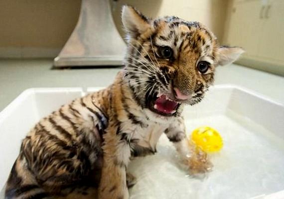 A vérszomjas kis fenevad 2011 tavaszán látta meg a napvilágot. Azóta a Pittsburghi Állatkert lakója.