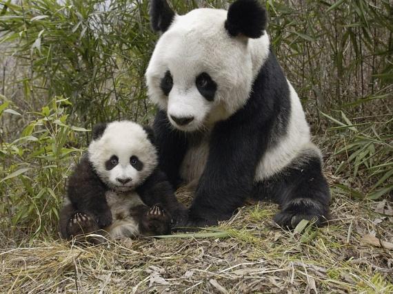 Később ilyen aranyos lesz. A WWF szerint a szabadban már csak kétezer óriáspanda élhet, ám számuk, ha lassan is, de növekszik. Ettől függetlenül végveszélyben lévő faj.                         Minden óriáspanda a kínai állam tulajdona, ezért minden állatkerti szaporításba beleszólásuk van, és bizony van, hogy politikai célokra használják fel azt, hogy más államnak nem lehet pandája.