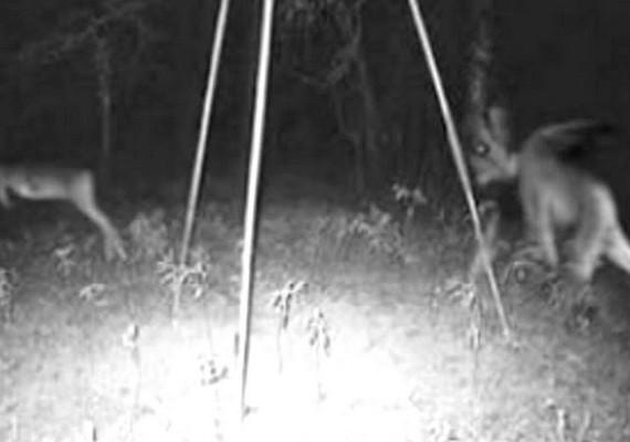 Az erdei fotó első alakja egy őz, de nem tudni, hogy mi üldözi. Az idők során az ijesztő valami a New Jersey-i ördög nevet kapta, de sokak szerint a chupacabra, vagyis kecskeszívó van a képen.