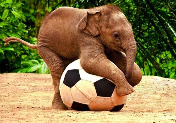 Akarsz labdázni? A focilabdás kiselefántot innen töltheted le.