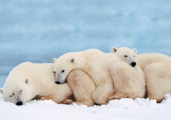 Nem bírod a telet? Ebben a hidegben még a jegesmacik is fáznak! Az egymást melengető mackókat itt töltheted le.
