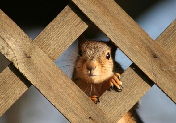 Kukucs! Van ott valaki? A leselkedő mókust itt találod meg nagy felbontásban.