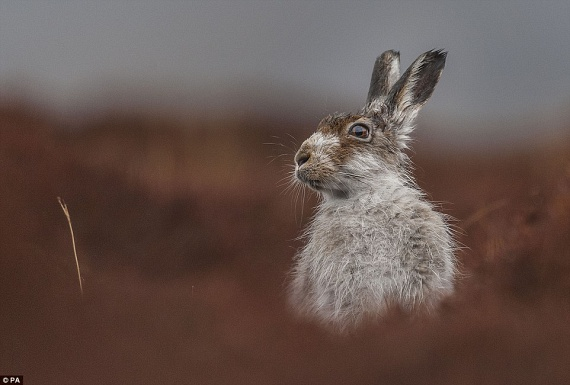 Jamie Mina Elmélkedés című képe lett az állatportrék-kategória első helyezettje, amelyen egy havasi nyúl idilli pillanatát sikerült elcsípnie a szemfüles fotósnak.