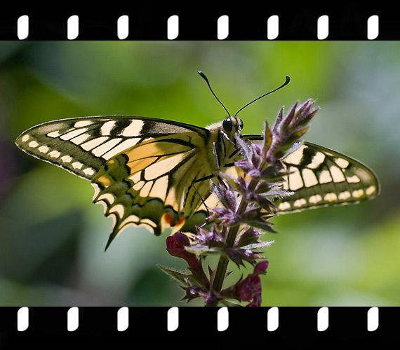 Papilio Machaon - Fecskefarkú pillangó.