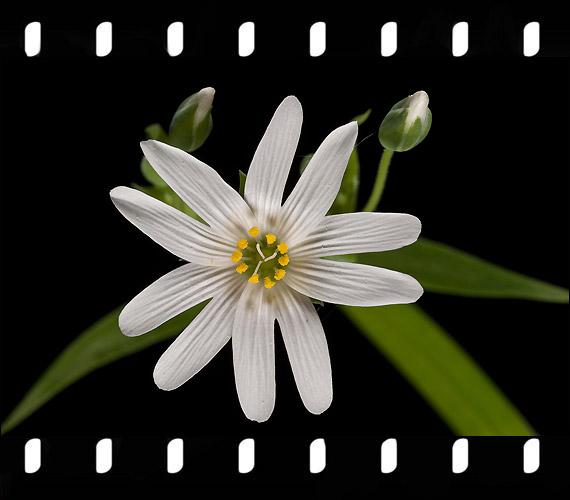 Stellaria Holostea L. - Olocsáncsillaghúr.