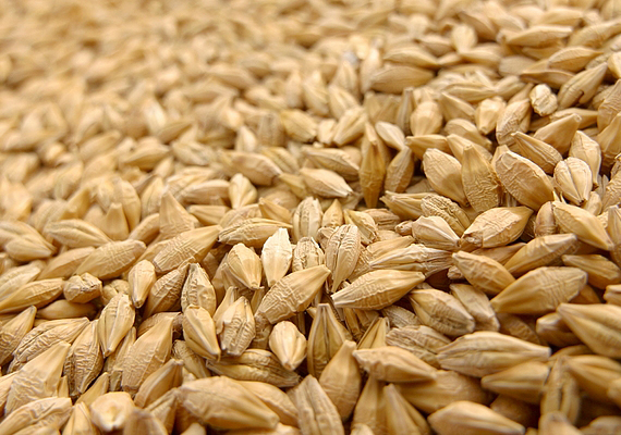 Ma kell elvetni a lucabúzát, amely a jövő évi termésről árulkodik: ha karácsonyig kizöldül, kicsírázik a búza, a következő évben bőség várható.