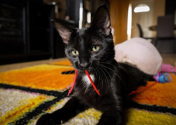Vladnak azonban néhány nappal később nőni kezdett a szőre, és hamarosan csodaszép, fekete macska lett belőle. Kiderült, hogy a kereskedő az egész alom kiscicát leborotválta, vagy szőrtelenítő krémmel kezelte, így átverve a vevőket, és szörnyű kínoknak kitéve a macskákat - miután az eset nyilvánosságra került, több gazdi is jelezte, hogy így járt, és volt olyan állat, amelyik majdnem elveszítette a farkát a kegyetlen tenyésztő miatt.