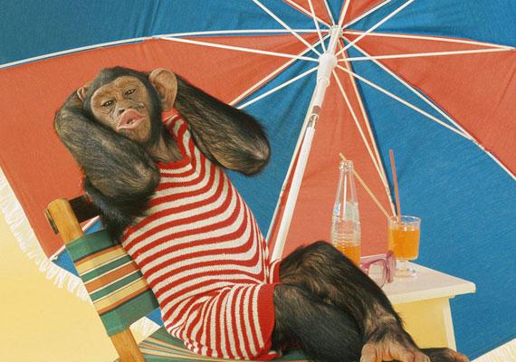 De a legforróbb órákban vonulj árnyékba! A majmos háttérképet itt találod.