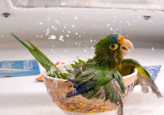 Egy fürdővel bármikor felfrissítheted maga. A pancsoló papagáj képét itt töltheted le.