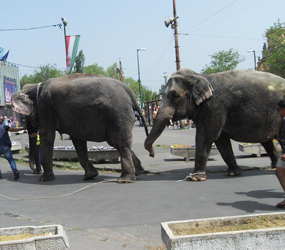 A Fővárosi Nagycirkusz előtt elefántokat vonultattak fel az ünnep alkalmából.
