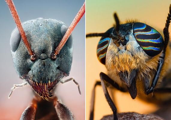 A bal oldali fotón lévő hangyához hasonlóan a jobb oldalon látható bögöly is egészen máshogy fest így.