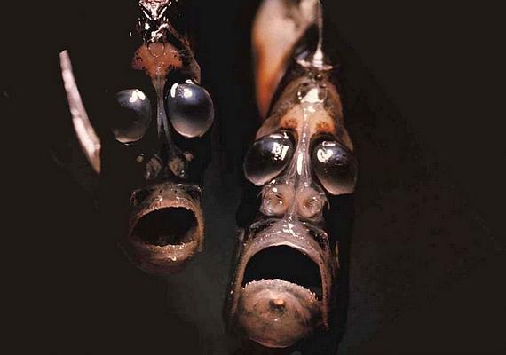 Barátságosabb küllemű lények is laknak a tenger mélyén: az ijedt arcú halacskák a szekercelazacok közé tartoznak.