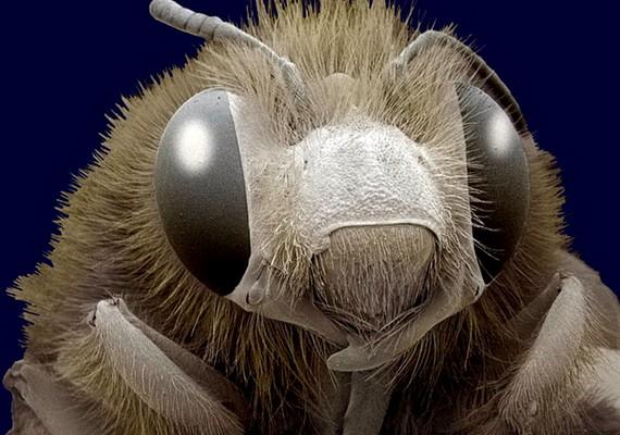 A méhecske nagyításban is aranyosabb.