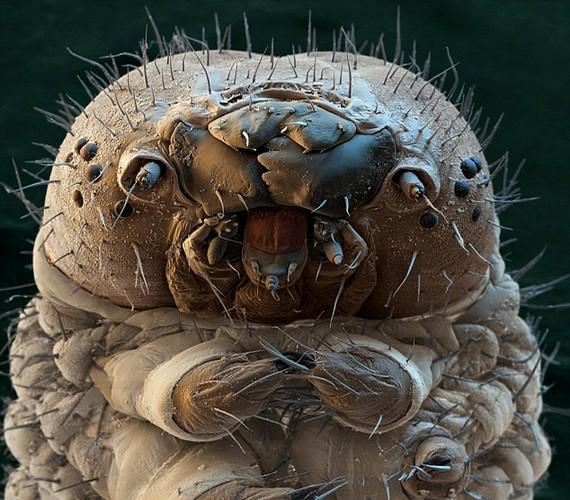 A selyemhernyó mikroszkóp alatt nem túl szívderítő látvány.