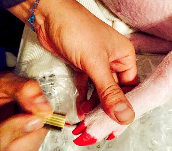 Miley Cyrus malacának még saját manikűröse is van. A kép kiverte a biztosítékot néhány rajongónál, szerintük Miley semmivel sem különb azoknál, akik állatokon tesztelik a kozmetikumokat.