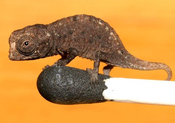 2012 elején, Madagaszkáron fedezték fel a kaméleonok legkisebb méretű egyedeit. Az állat valamivel nagyobb a miniatűr békáknál.