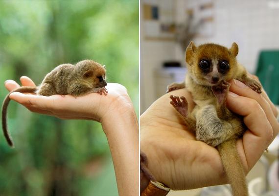 Az egérlemúrok egyik legkisebb testű csoportja a törpe egérlemúr. A tenyérnyi állat Madagaszkáron őshonos, tömege nagyjából 50 gramm.