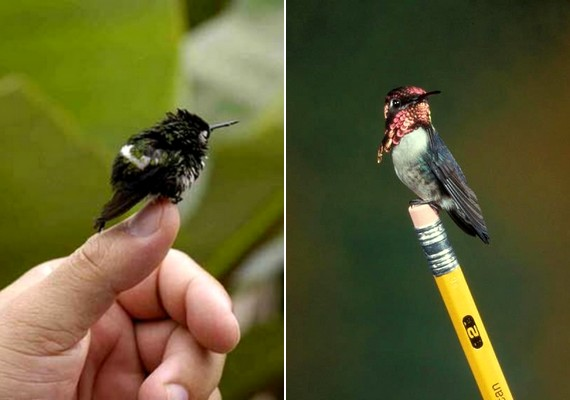 A világ legkisebb madara a Kubában őshonos méhkolibri, amelynek hat centiméteres testhosszához másfél-két grammos tömeg társul.
