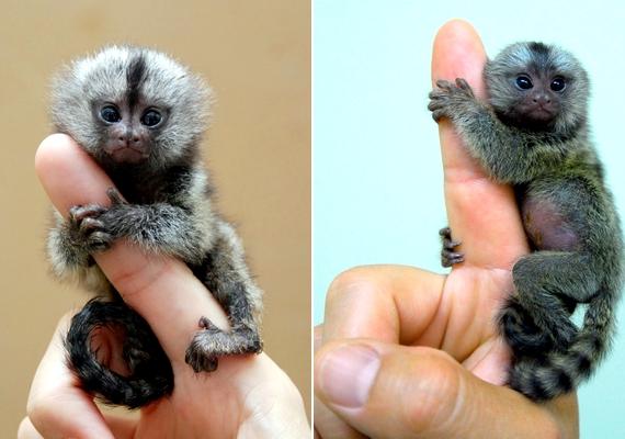 Brazíliában, az Amazonas partjánál fedezték fel a világ legkisebb majomfaját, a törpe selyemmajmot. Az apró állat átlagostömege mindössze 100-150 gramm.