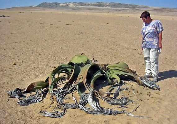 A velvícsia - Welwitschia mirabilis - egy óriási földönkívüli tetemére emlékeztet, pedig szívóssága miatt még Namíbia címerébe is bekerült.