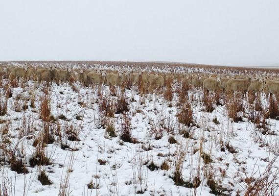 Ilyen közelről már egyértelmű, a képen egy 550 birkából álló, legelésző nyáj látható.